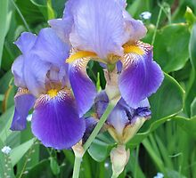 Purple Bearded Iris (185 Views) by plunder