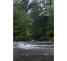 The Kauri Coast. Photographic Print