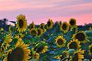 Sunflowers 09 II by PJS15204