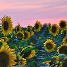 Sunflowers 09 II by PJS15204