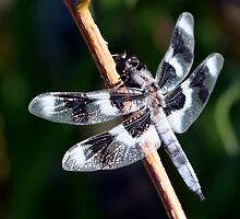Eight-Spotted Skimmer on Shrub Stem by Wolf Read