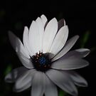 Gentle Daisy by Lozzar Flowers & Art