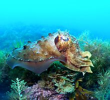 camoflauge cuttle fish by Hilly