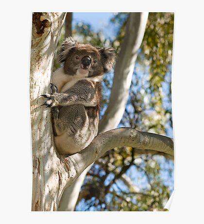 Koala 8 Poster