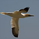 Gannet by Jon Lees