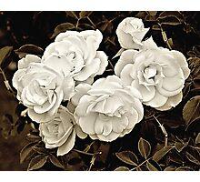 Platinum Roses Photographic Print