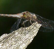 Dragonfly (3) by DutchLumix