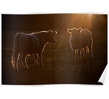 a couple of cows Poster