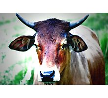 Ranch Cow in green Padock Photographic Print