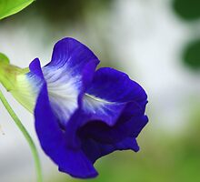 Blue Pea by Rainy