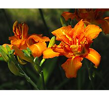 Sun Kissed Lily's Photographic Print