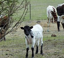 DON'T YOU SCOWL AT ME! Longhorn Cattle! South Australia. by Rita Blom