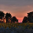 Sunflowers 09 III HDR by PJS15204