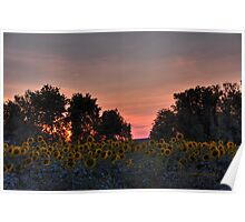 Sunflowers 09 III HDR Poster