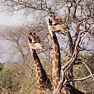 DID YAH SEE THAT..! Giraffe camelopardalis by Magriet Meintjes