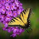 Beautiful Swallowtail on Butterfly Bush by Bonnie T.  Barry