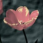 tulips 1 by JulieSaunders