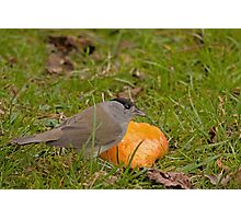 Black cap male feeding on apples Photographic Print