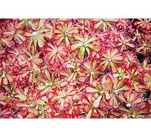 Sundew plant Photographic Print