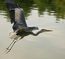 Grey Heron by Mark Thompson