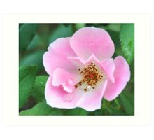 Pink Knockout Rose Art Print
