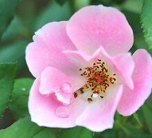 Pink Knockout Rose by Saffron2287