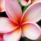 Pink Orange Fresh Frangipani Flower by LividPhoto