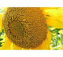 Bug On Sunflower Photographic Print