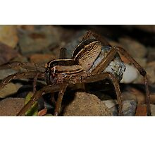 Wolf Spider - Egg sack Photographic Print