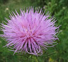 Thistle In Bloom by Ginny York