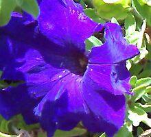 Purple Petunia.. by Kendra Taber