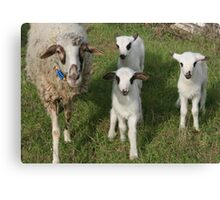 Ewe and Three Lambs Making Eye Contact Canvas Print