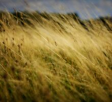 Grasses blowing in the wind by Christopher  Rees