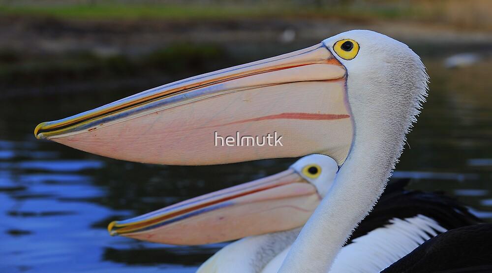 """"""" Pelican Pelican """"  by helmutk"""