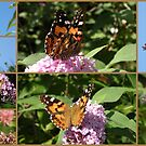 Beautiful Butterflies by Trish Meyer