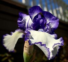 Iris I May, Iris I Might by Michael May