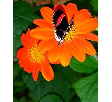 orange butterfly nectar Photographic Print