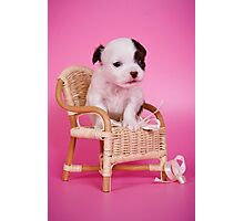 Chihuahua puppy on a pink background Photographic Print
