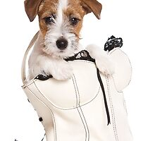 Jack Russell Terrier puppy in a bag by utekhina