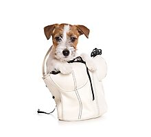 Jack Russell Terrier puppy in a bag Photographic Print