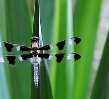 Twelve-spotted Skimmer -II- by mc27