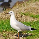 Seagull by hurky
