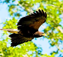 041909 Harris Hawk by Marvin Collins