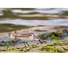 Shorebirds Photographic Print