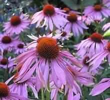 One Asteraceae (For my Australian friends) by loiteke