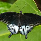 Pipevine Swallowtail (Battus philenor) by Steve  Liptrot