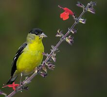 Goldfinch on purple and red flowers by Andy Nguyen