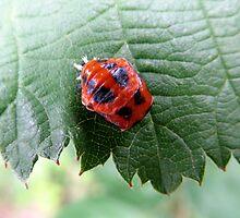 Ladybug Pupa by Detlef Becher