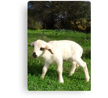 A Newborn Lamb Finding Its Feet Canvas Print