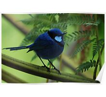 Blue Wren in all his finery Poster